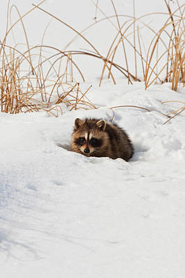 Animals Royalty-Free and Rights-Managed Images - Raccoon 9216  Procyon lotor  by Michael Trewet