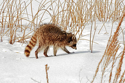 Animals Royalty-Free and Rights-Managed Images - Raccoon 9254  Procyon lotor  by Michael Trewet