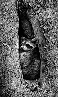 Dan Beauvais Royalty-Free and Rights-Managed Images - Raccoon in Hollow 7385 by Dan Beauvais