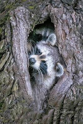 Dan Beauvais Photos - Raccoon Siblings #0492 by Dan Beauvais