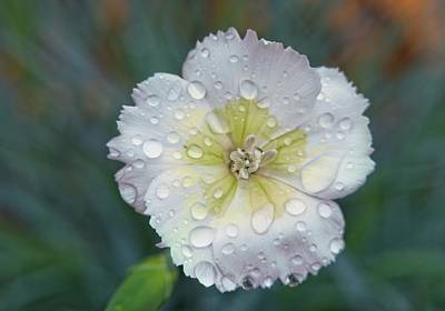 Gaugin Rights Managed Images - Raindrops on Dianthus 1 Royalty-Free Image by Douglas Barnett