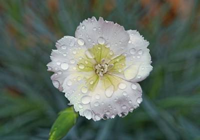 Gaugin Rights Managed Images - Raindrops on Dianthus 2 Royalty-Free Image by Douglas Barnett