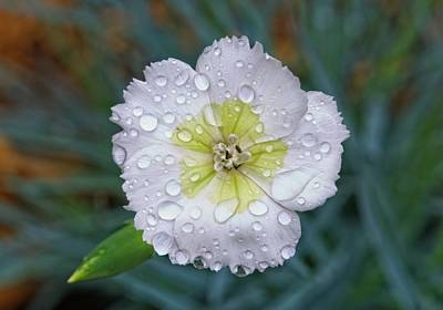 Gaugin Rights Managed Images - Raindrops on Dianthus 3 Royalty-Free Image by Douglas Barnett