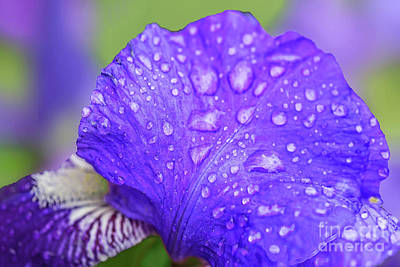Abstract Male Faces - Raindrops on Iris Petals by Regina Geoghan
