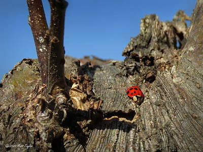 Photograph - Rappelling Ladybug by Matt Taylor