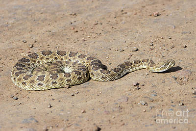 Steven Krull Royalty-Free and Rights-Managed Images - Rattle Snake in Waterton Canyon by Steven Krull