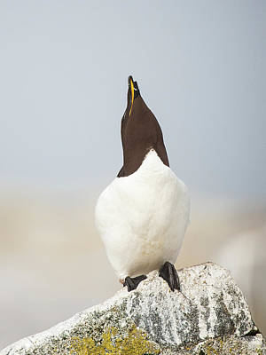 Lori A Cash Royalty-Free and Rights-Managed Images - Razorbill in Mating Display by Lori A Cash