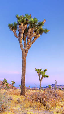 Moody Trees Rights Managed Images - Reach - Joshua Tree National Park Royalty-Free Image by Stephen Stookey