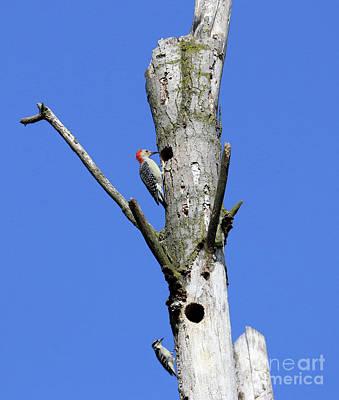Animal Portraits - Red Bellied and Downy Woodpeckers  3484 by Jack Schultz