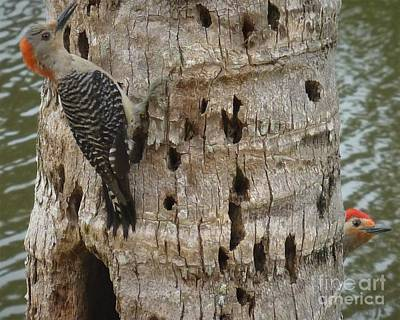 Stellar Interstellar - Red-bellied Woodpecker Couple by Barbie Corbett-Newmin