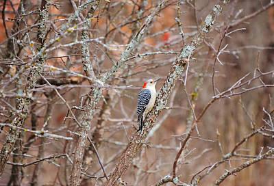 Moody Trees - Red Bellied Woodpecker in Winter Trees by Gaby Ethington