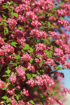 The Who - Red-flowering Currant by Jenny Rainbow
