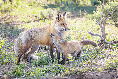 Target Threshold Nature Royalty Free Images - Red Fox Kit Snuggles Up to Dad Royalty-Free Image by Tony Hake