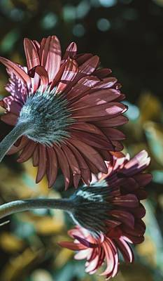 Photo Royalty Free Images - Red Gerbera Daisies Royalty-Free Image by Martin Alonso