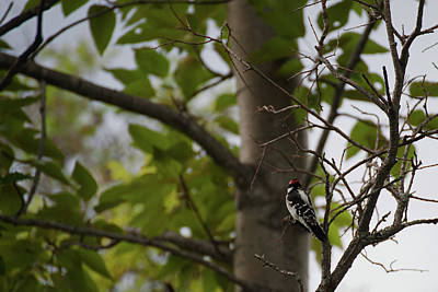 Food And Flowers Still Life - Red Headed Woodpecker by Robert Braley
