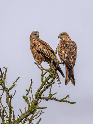 Photograph - Red Kites by David Wood