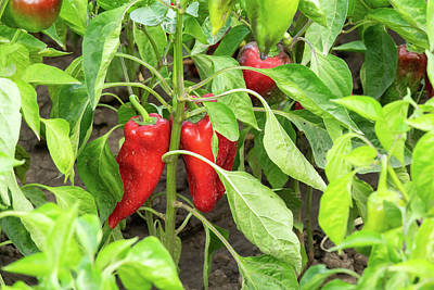 Truck Art Rights Managed Images - Red organic peppers growing in the garden Royalty-Free Image by Michael Dechev