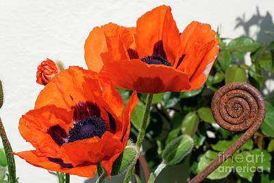 Lady Bug - Red Poppies with a twist by Rob Hawkins