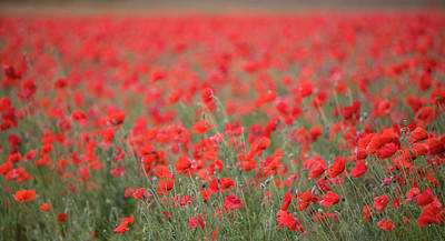 Royalty-Free and Rights-Managed Images - Red Poppy Field by Rebecca Cozart