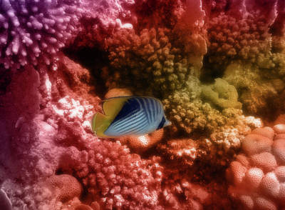 Just Desserts - Red Sea Threadfin Butterflyfish Colorfully by Johanna Hurmerinta