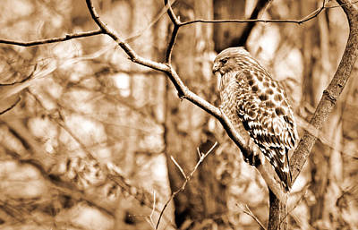 Truck Art - Red-Shouldered Hawk In Winter Woods by Francis Sullivan