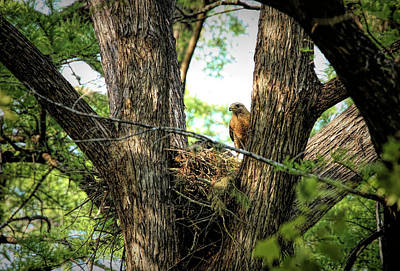 Rose - Red-Shouldered Hawk and Nest by Judy Vincent