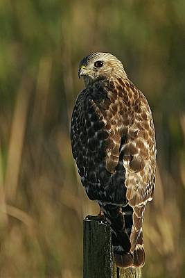 Lori A Cash Royalty-Free and Rights-Managed Images - Red-shouldered Hawk on Post by Lori A Cash