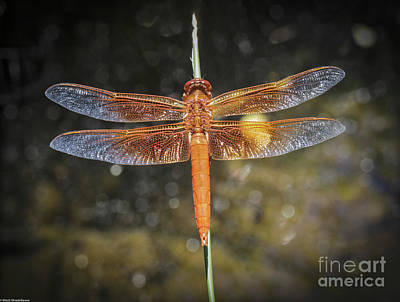 Giuseppe Cristiano Royalty Free Images - Red Skimmer 3 Royalty-Free Image by Mitch Shindelbower