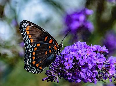 Book Quotes - Red-spotted Purple On Purple Butterfly Bush by Cindy Treger