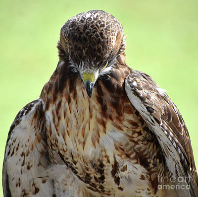 Lovely Lavender - Red Tail Hawk In Prayer by Skip Willits