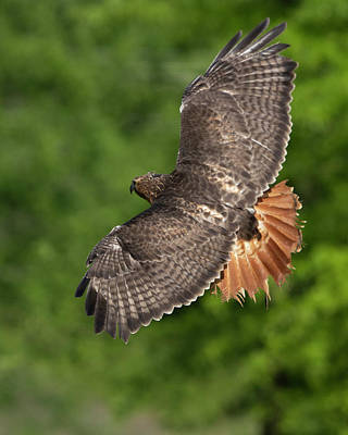Urban Abstracts Royalty Free Images - Red tailed hawk in flight Royalty-Free Image by Jack Nevitt