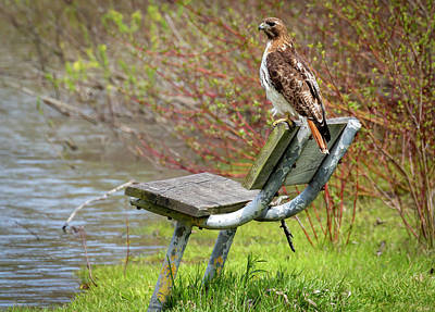 Photograph - Red-tailed Hawk on a Park Bench by Ricky L Jones