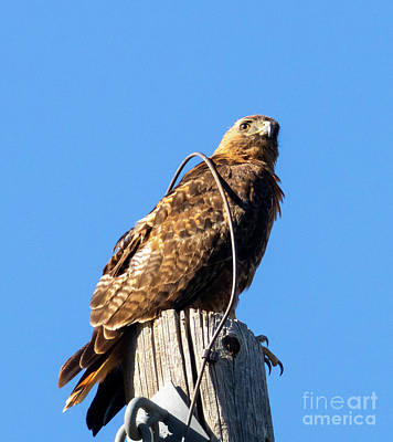 Steven Krull Royalty-Free and Rights-Managed Images - Red-Tailed Hawk on a Perch by Steven Krull