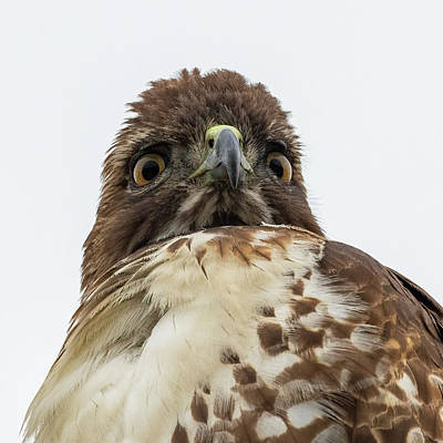 Mountain Landscape Royalty Free Images - Red-tailed Hawk Portrait Royalty-Free Image by Mike Gifford