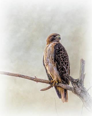 Anne Geddes Collection - Red Tailed Hawk Portrait  by Debra Martz