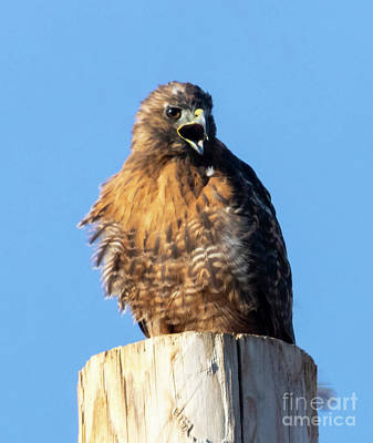 Steven Krull Royalty-Free and Rights-Managed Images - Red Tailed Hawk Squawking by Steven Krull