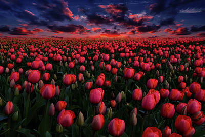 Spot Of Tea Royalty Free Images - Red tulips at sunset Royalty-Free Image by Mihaela Pater