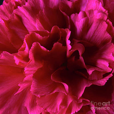 Kitchen Mark Rogan Rights Managed Images - Red Wild Carnation 1 Royalty-Free Image by Tony Cordoza