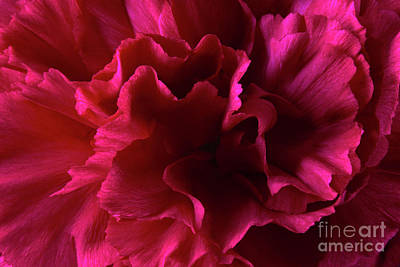 Kitchen Mark Rogan Rights Managed Images - Red Wild Carnation Royalty-Free Image by Tony Cordoza