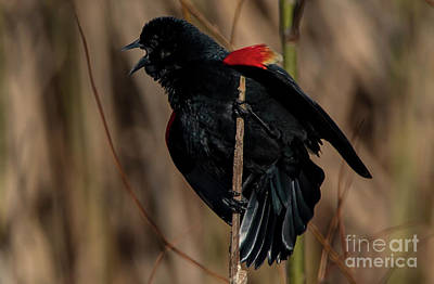 Keith Richards - Red Winged Black Bird Singing a Song by Sandra J