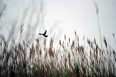 Photograph - Red-winged Blackbird by Eileen Clark