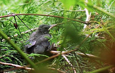 Animal Portraits - Red-Winged Blackbird Fledgling by Susan Maxwell Schmidt
