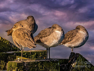 School Tote Bags Royalty Free Images - Resting Willets Royalty-Free Image by Mitch Shindelbower