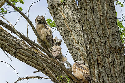Animals Royalty-Free and Rights-Managed Images - Revisiting the Three Great Horned Owlets by Belinda Greb