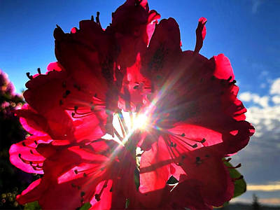 Photograph - Rhododendron Flare by David Matthews