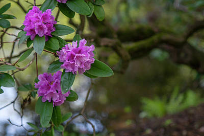 Grace Kelly - Rhododendron Flowers over Water by Jenny Rainbow