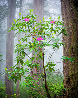 Photograph - Rhododendrons, Redwood.  by John Morris