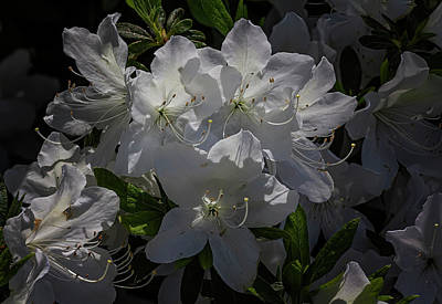 Farm Life Paintings Rob Moline - Rhododendrons by Robert Ullmann