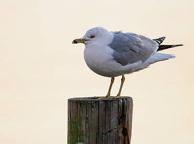 Lori A Cash Royalty-Free and Rights-Managed Images - Ring-Billed Gull On Post by Lori A Cash