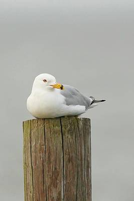 Lori A Cash Royalty-Free and Rights-Managed Images - Ring-Billed Gull Sitting on Post by Lori A Cash